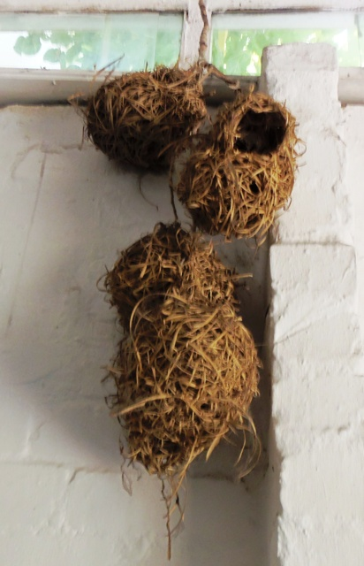 Weaver nests hanging in our back stoep