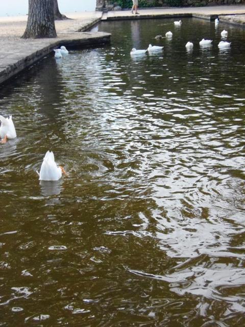 Ducks at Groote Constantia